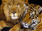 狮虎情未了:母老虎竟恋上公狮子