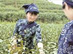 湘茶产业迈向千亿俱乐部